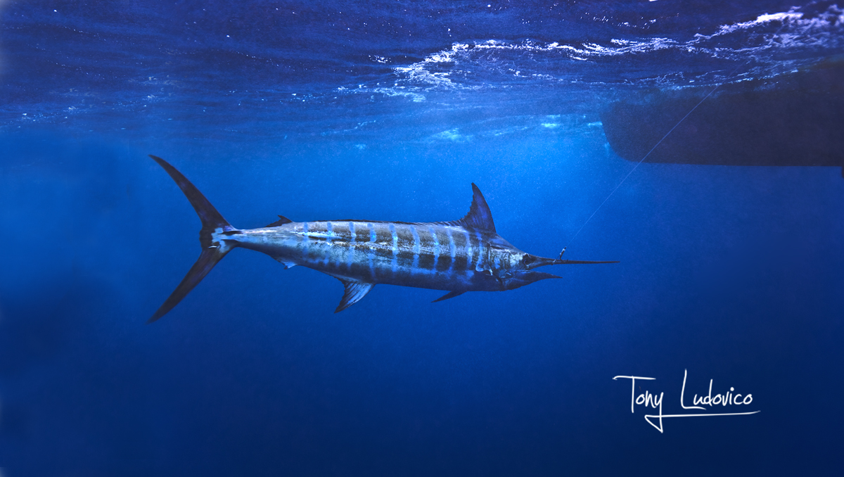 Tips and Hacks: Blue Marlin